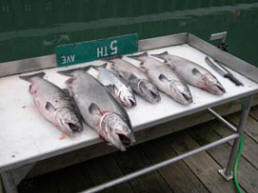 Fish caught with Fat Salmon Charters in Skagway, AK